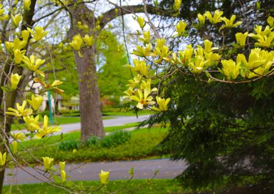 photo of flowering yellow magnolia tree in Houston Barnard neighborhood